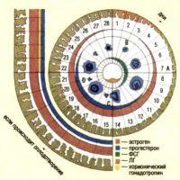 Работа гормонов по циклу