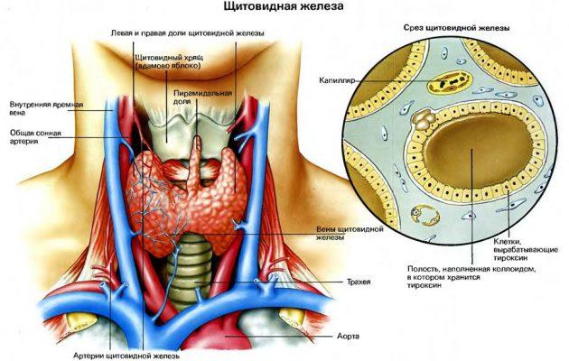 Гипертиреоз – что это такое, симптомы и причины