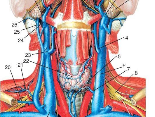 Заболевания щитовидной железы: признаки, симптомы, лечение