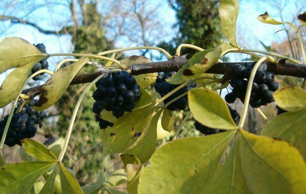 Травы, повышающие тестостерон: перечень, свойства, противопоказания