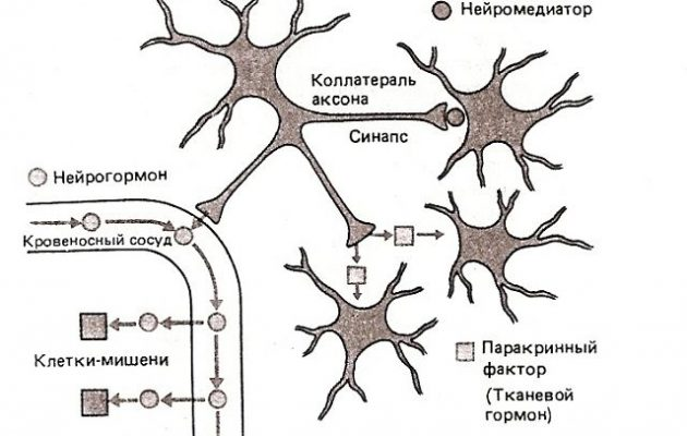 Гормоны гипоталамуса: функции, описание