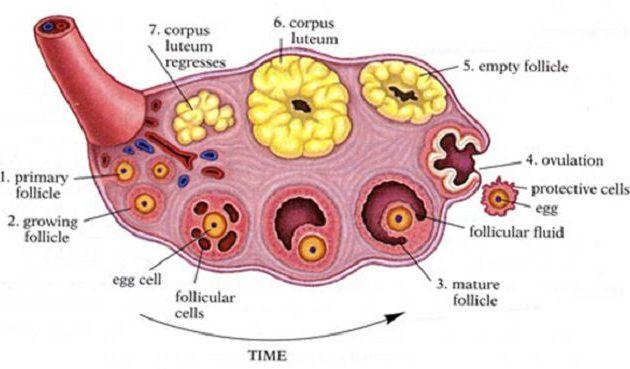 Действие прогестерона: характеристика, последствия