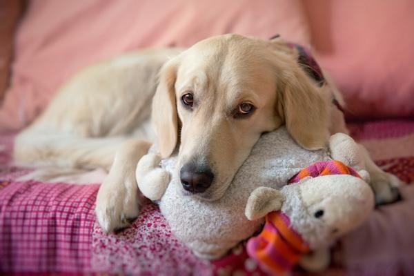 Способы лечения пиометры и эндометрита у собак, симптомы и причины возникновения